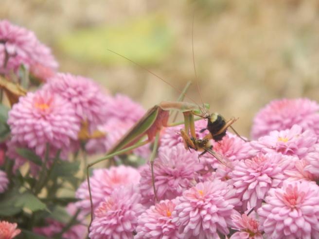 -Allison (praying mantis video) 012