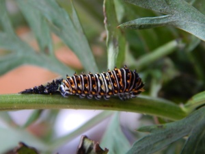 -Allison (swallowtail caterpillar) 003