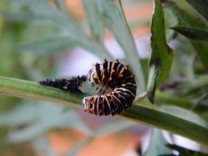 -Allison (swallowtail caterpillar) 004
