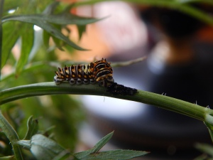 -Allison (swallowtail caterpillar) 007