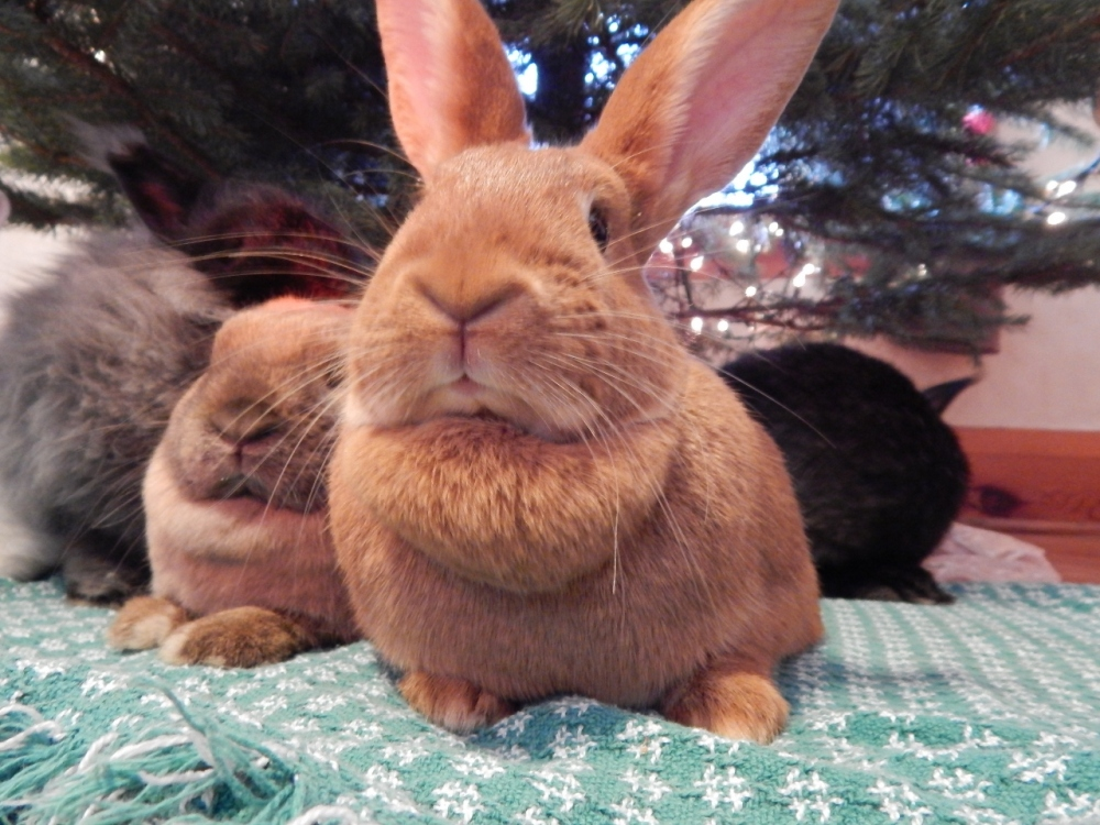 Merry Christmas from the Bunnies! (4/5)