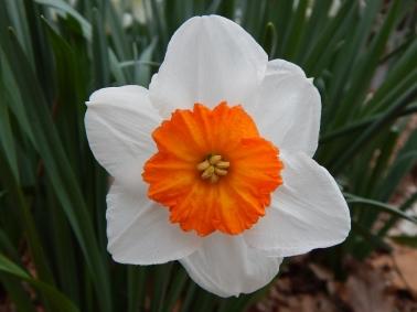 My Grandma has these beautiful orange-centered daffodils!
