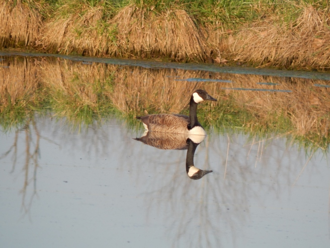 -Allison(pond, geese) 013 (1280x960)