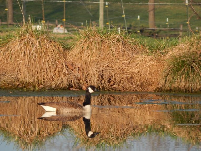 -Allison(pond, geese) 021 (1280x960)