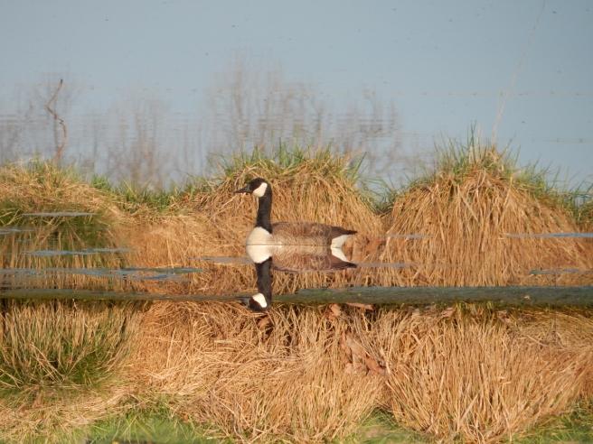 -Allison(pond, geese) 023 (1280x960)