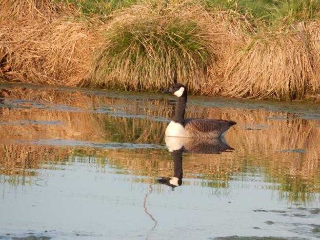 -Allison(pond, geese) 025 (1280x960)