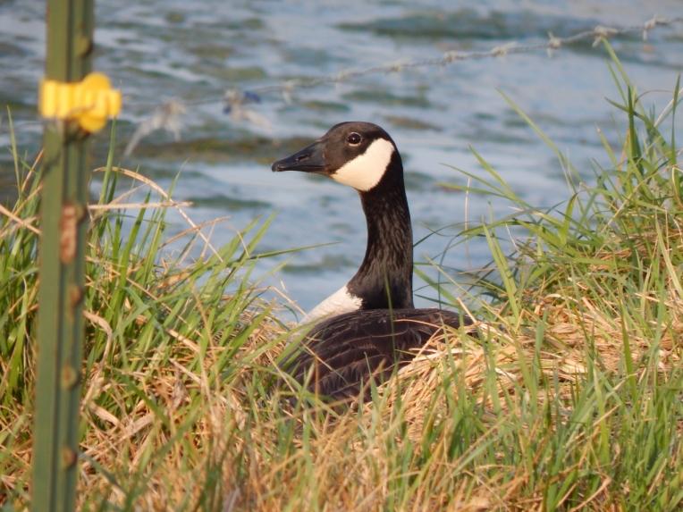 -Allison(pond, geese) 026 (1280x960)
