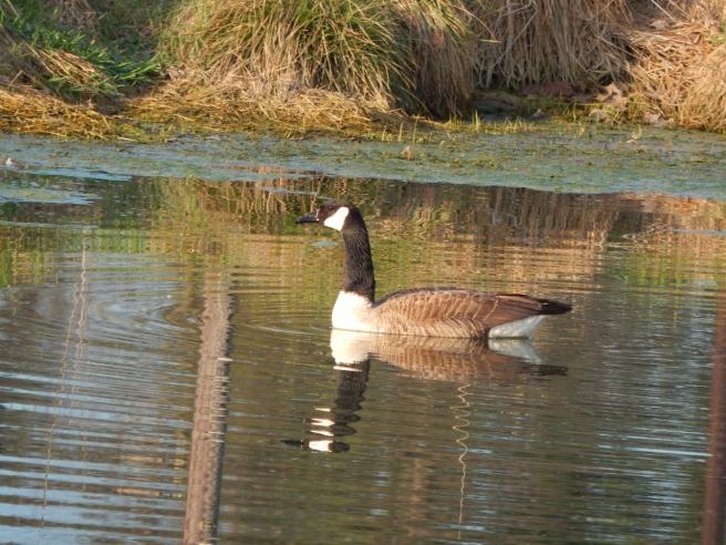 -Allison(pond, geese) 029 (1280x960)