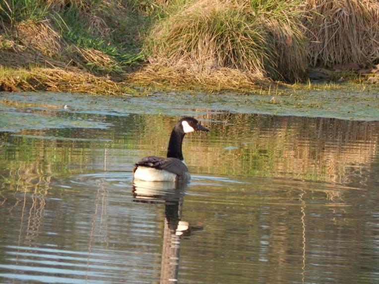 -Allison(pond, geese) 030 (1280x960)