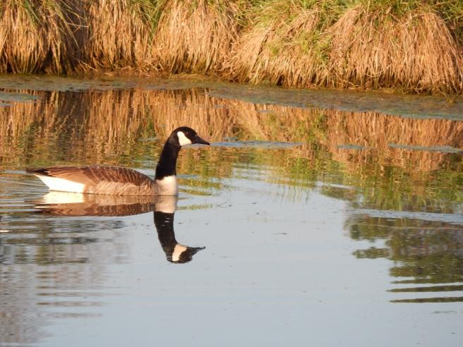 -Allison(pond, geese) 032 (1280x960)